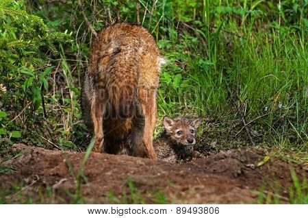 Coyote (canis Latrans) Pups Pops Head Out Of Densite