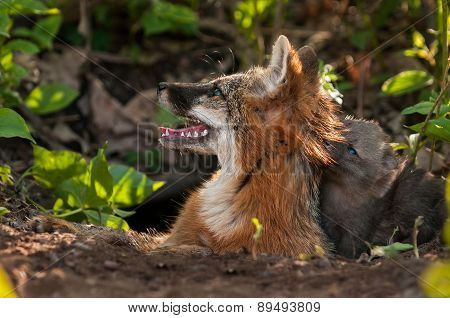 Grey Fox Vixen (urocyon Cinereoargenteus) And Kit Heads Up To Sunlight