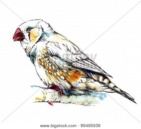 zebra finch bird sitting on the branch. Isolated on white background. Watercolor illustration