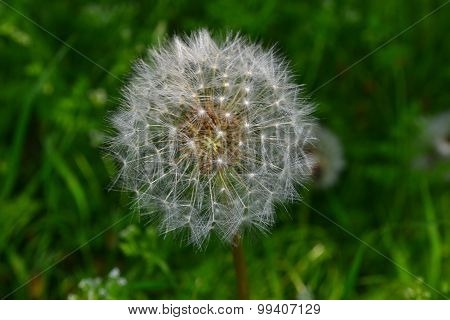Dandelion - Ripe And Will Soon Disperse Seeds.