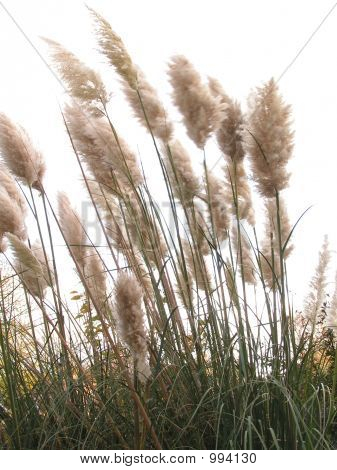Giant Pampas Grasses