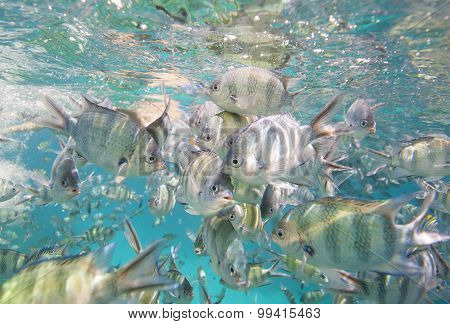 Shoal Of Sergeant Major Damselfish On Coral Reef