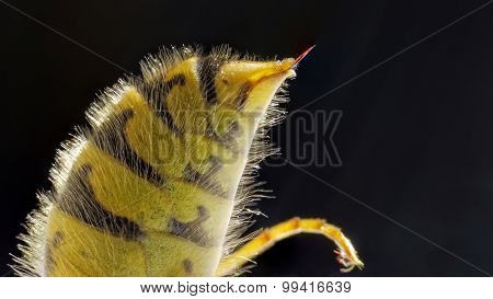 Stinger From A Common European Wasp