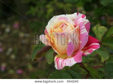 Striped Rose