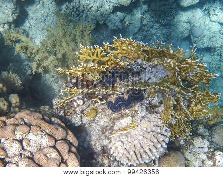 The Giant Clam On The Coral Reef In The Red Sea