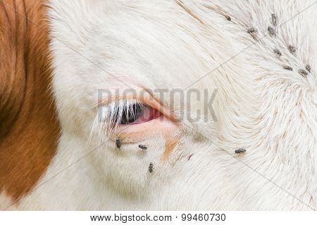 Troublesome Flies In The Cow's Eye