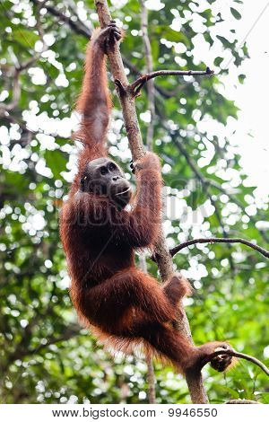 Young female orangutan hanging in a tree poster