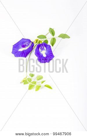 Butterfly Pea  On White Background