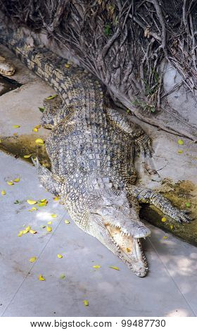 American crocodile (Crocodylus acutus) on a Pattaya Crocodile Farm