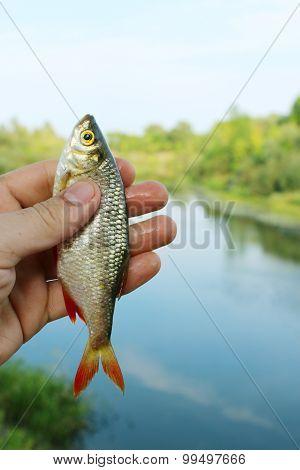 rudd caught in the fishing