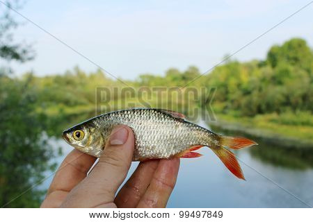 Rudd Caught In The Fishing On The Background Of River