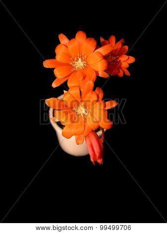 Rebutia cactus flowers isolated