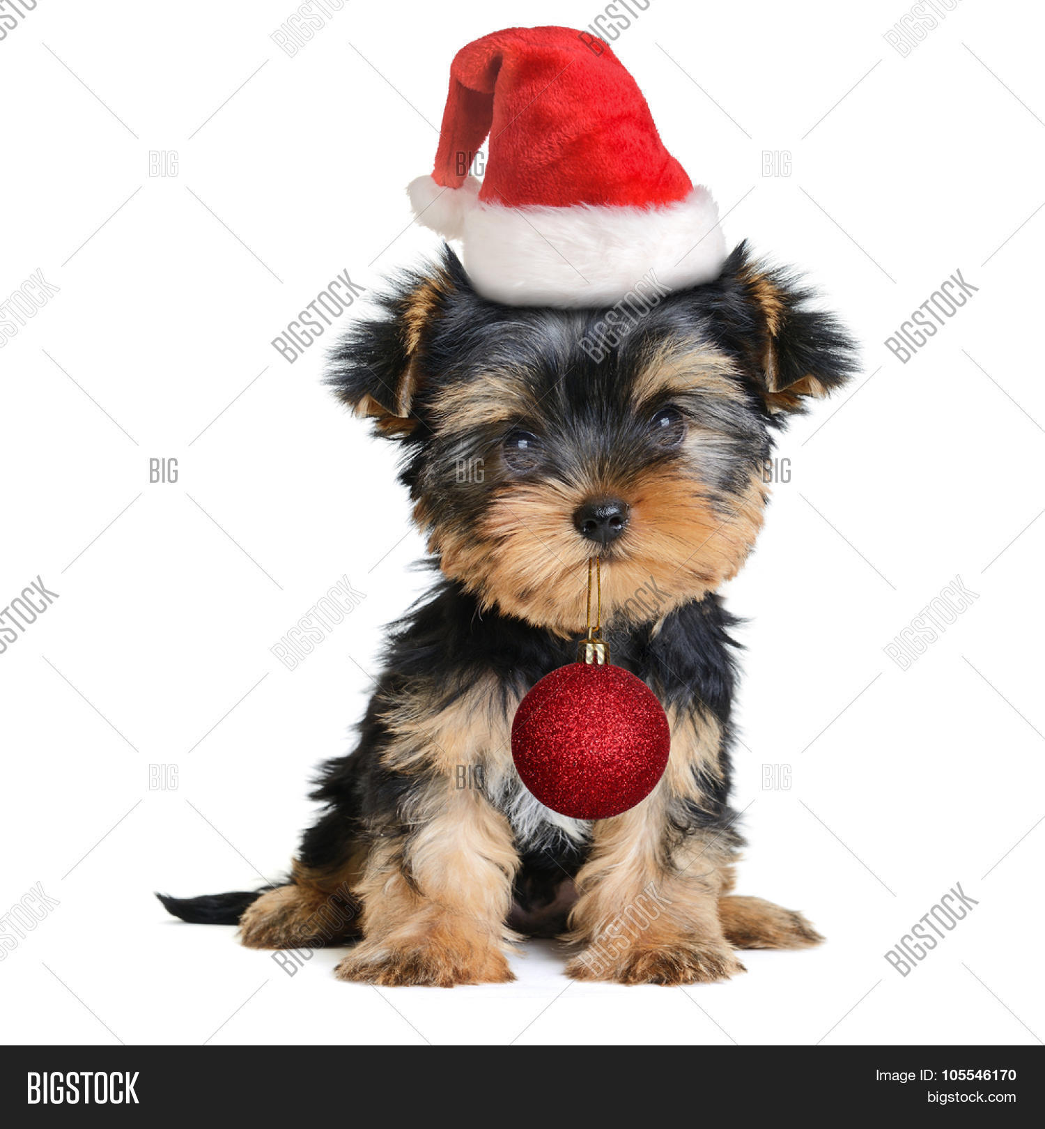 Yorkshire Terrier Dog Image Photo Free Trial Bigstock