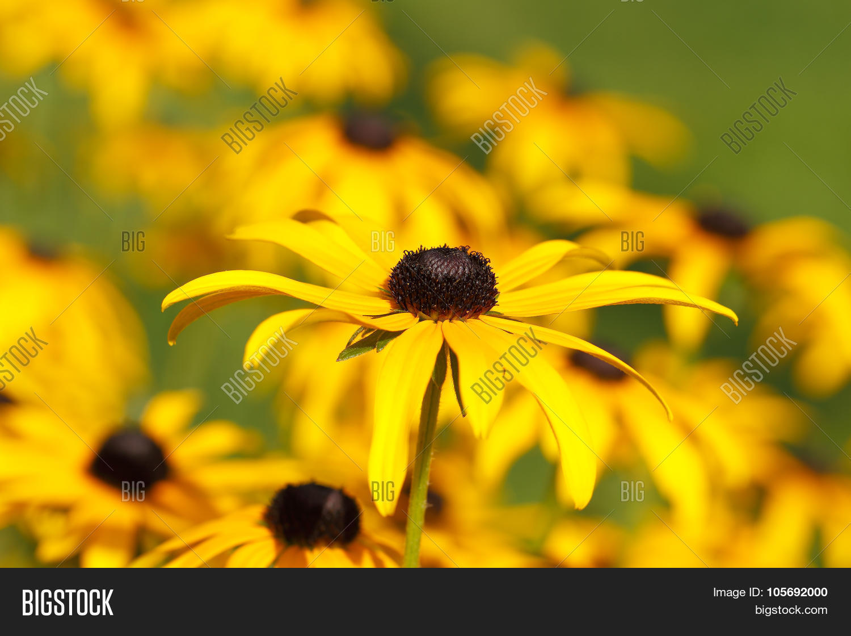 Yellow Cornflower Image Photo Free Trial Bigstock