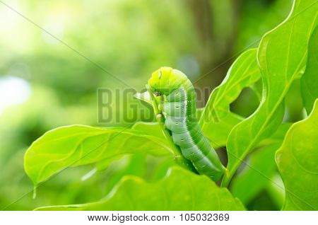 Butterfly Larvae.