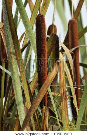 Bulrush or Reedmace