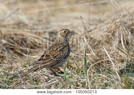 Eurasian Skylark In The Dry Grasses In Early Spring