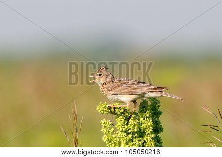 Singing Eurasian Skylark In The Meadow