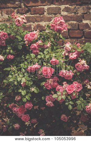background of gentle light pink roses on stonewall in garden, summer day poster