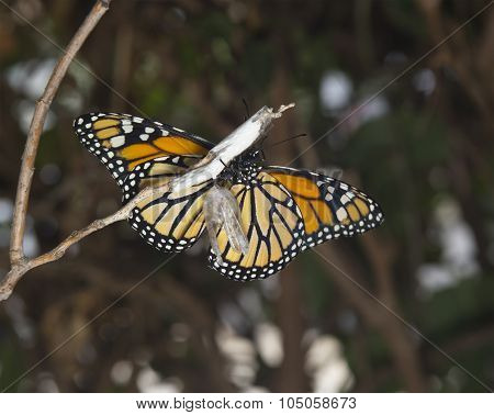 Monarch Butterfly & Cocoon