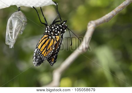 Monarch butterfly and cocoon pupa