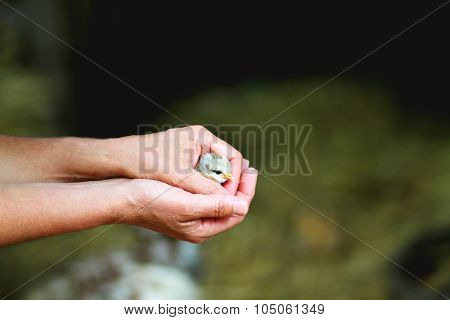 Hands holding a chick
