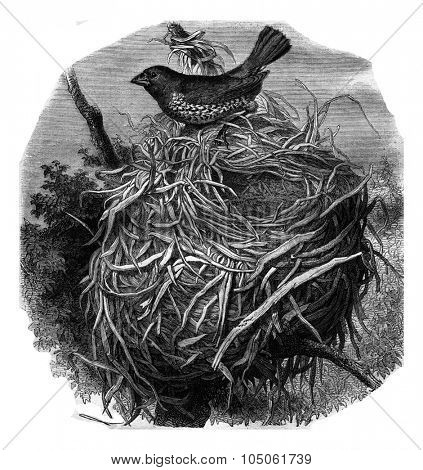 Spotted Munia and her nest, vintage engraved illustration. Magasin Pittoresque 1877.