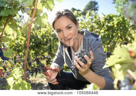 Closeup of young woman picking grape in vineyard