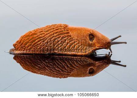 a slug crawling around. it is reflected in a glass plate.