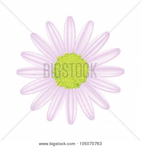 Violet Daisy Flower On A White Background