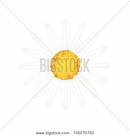 White Daisy Flower On A White Background