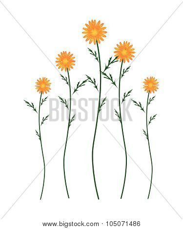 Orange Daisy Blossoms On A White Background