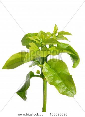 Colorful and crisp image of malabar spinach (Basella alba) poster