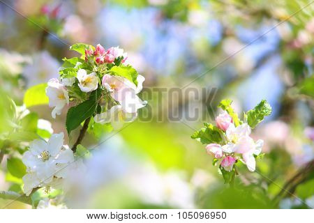 Blooming apple tree in spring time