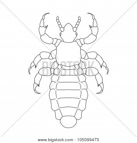 A head  human louse. Pediculus humanus capitis. Sketch of louse.  louse isolated on white background