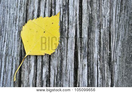 Yellow birch leaf
