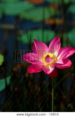 Pink Lotus 3