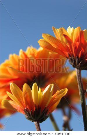 Orange Flowers & Blue Sky