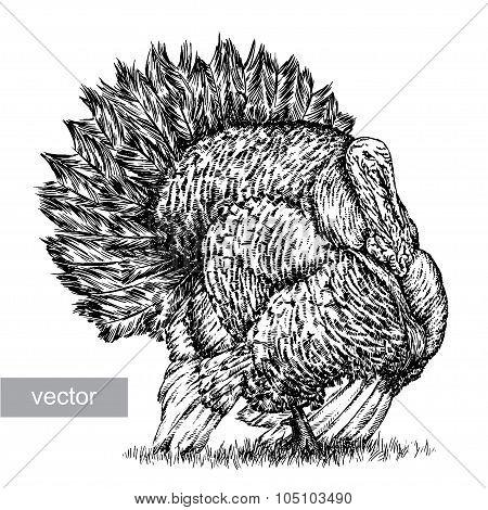 engrave turkey illustration