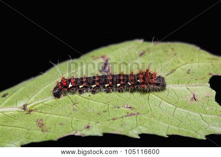 Golden Emperor Moth Caterpillar