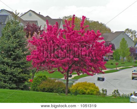 Vivid Hot Pink Flowering Crabapple Tree