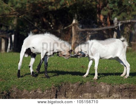 Two young goats play