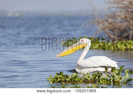 Pelican At Lake Naivasha, Kenya