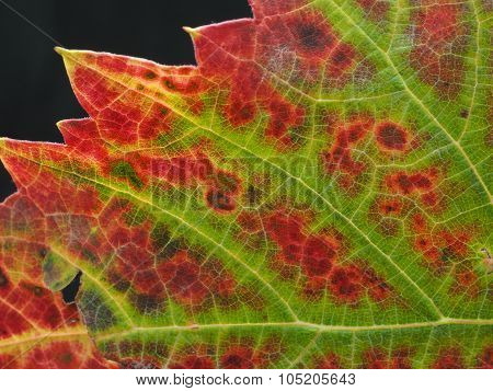 Grapevine Leaf closeup