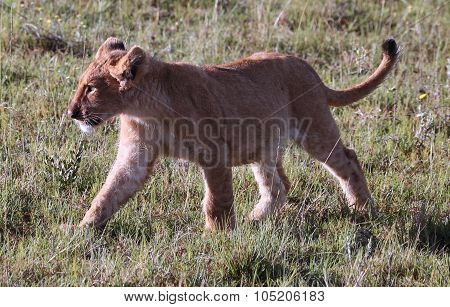 Young Wild Lion Cub in South Africa