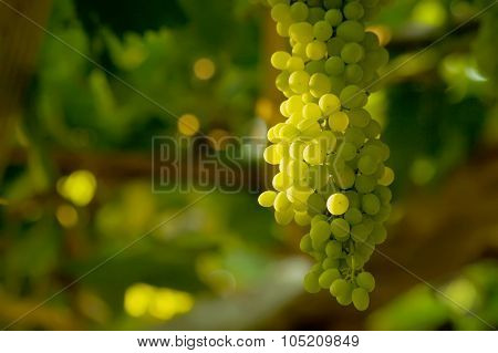 A Bunch Of White Grapes
