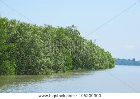 Mangrove Forest In Myanmar