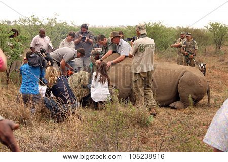 Dehorning Started On Large Rhino After Been Darted And Stabilized
