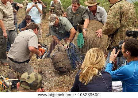 Finishing Dehorning Of Large Rhino After Been Darted