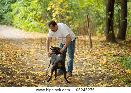 Dobermann is holding the stick in a forest near the man.